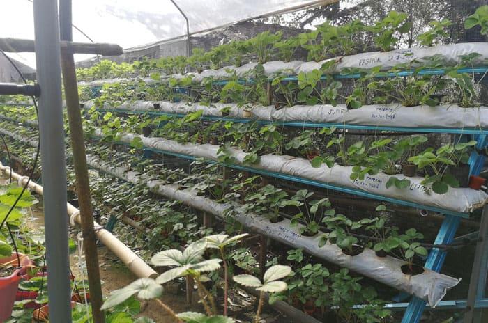 Varieti Pokok Strawberry Palong 15