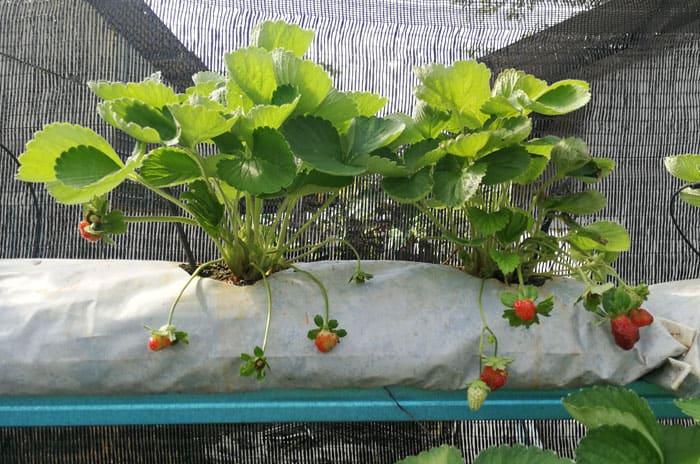 Buah Strawberry Palong 15