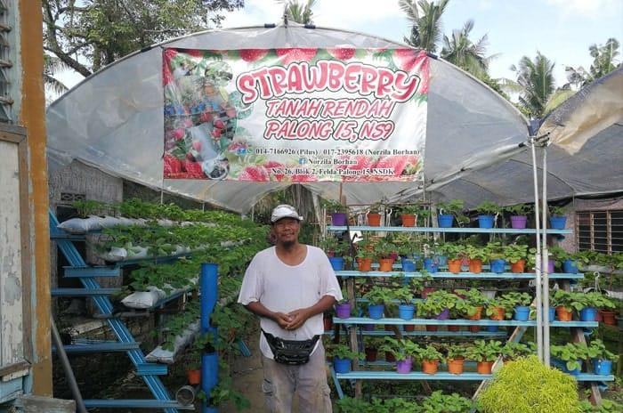Kebun Strawberry di Felda Palong 15